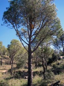 Caja nido instalada en un pino piñonero.